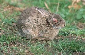 Coello afectado por mixomatosis