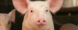 environmental-impact-disposal-waste-large-scale-pig-production-1