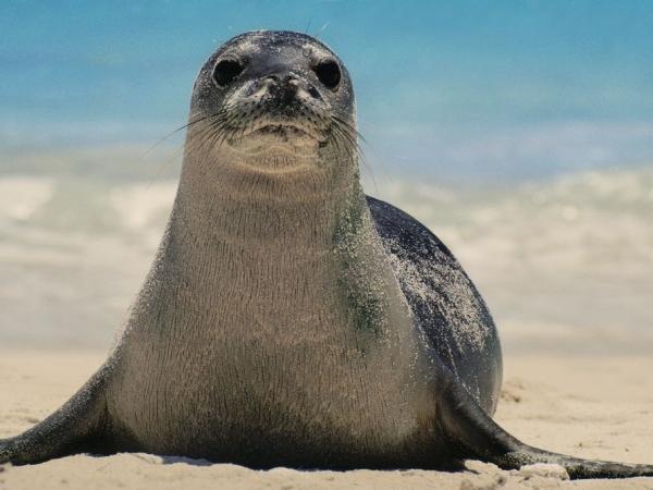 foca-monje-hawai