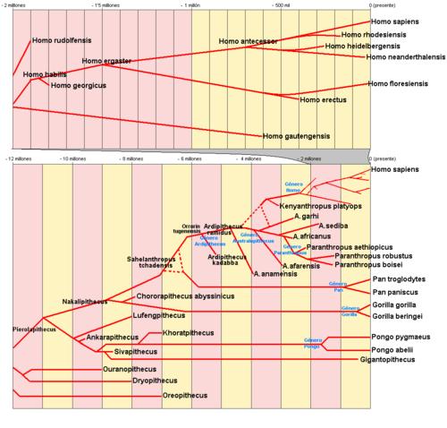 500px-Hominidae_filogenia